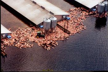 Perished hogs in Hurricane Floyd