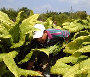 A farmer examines his crop