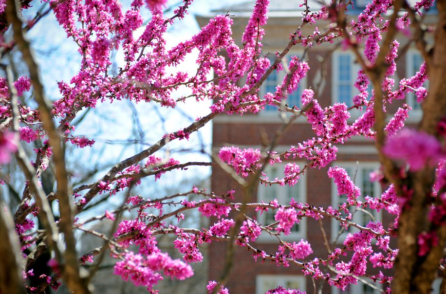 Flowers begin to bloom at the University of North Carolina at Chapel Hill as spring-like temperatures arrived early to the campus.