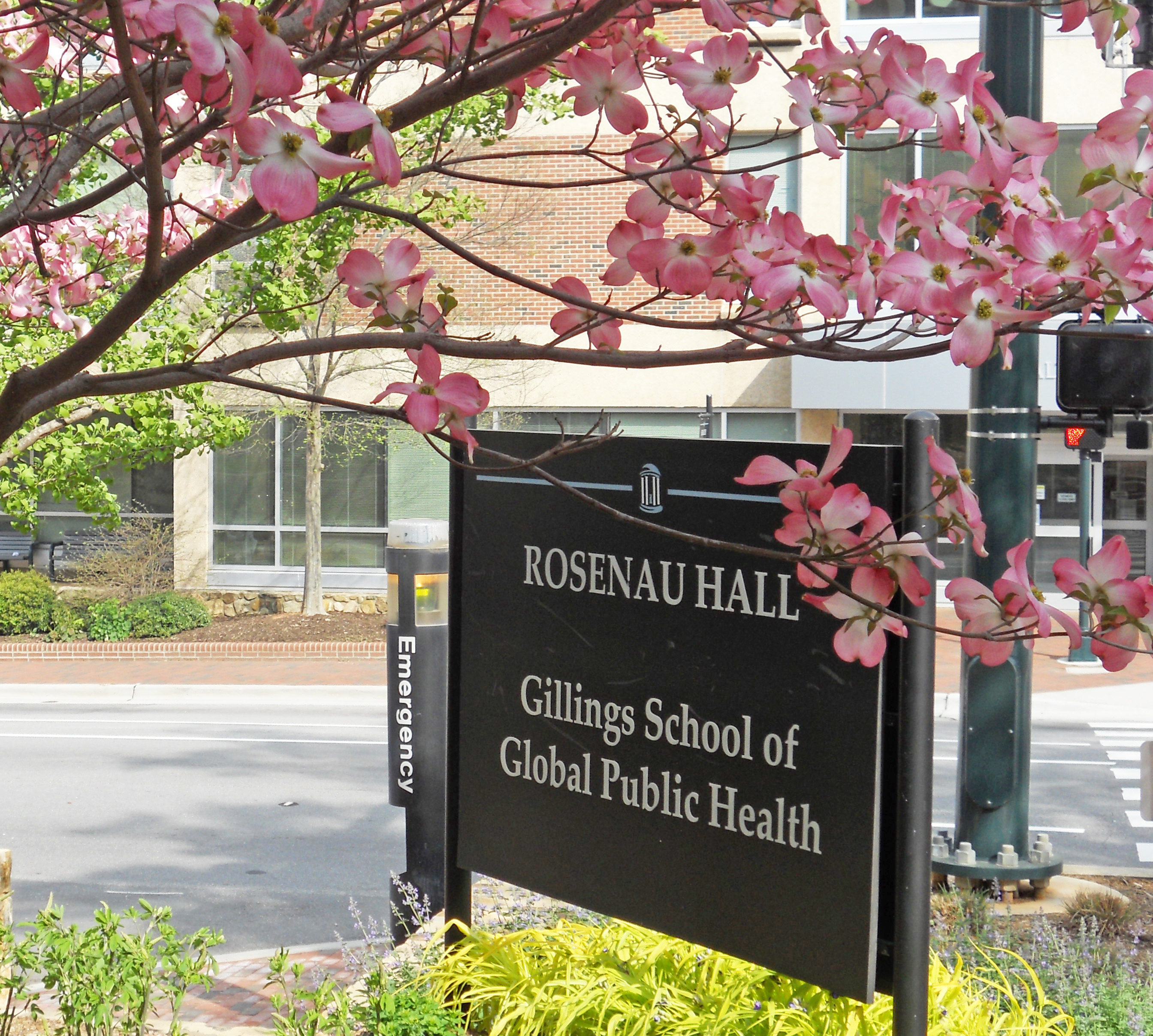 Dogwoods, North Carolina's state flower, blossom around a sign at the entrance to the Gillings School.