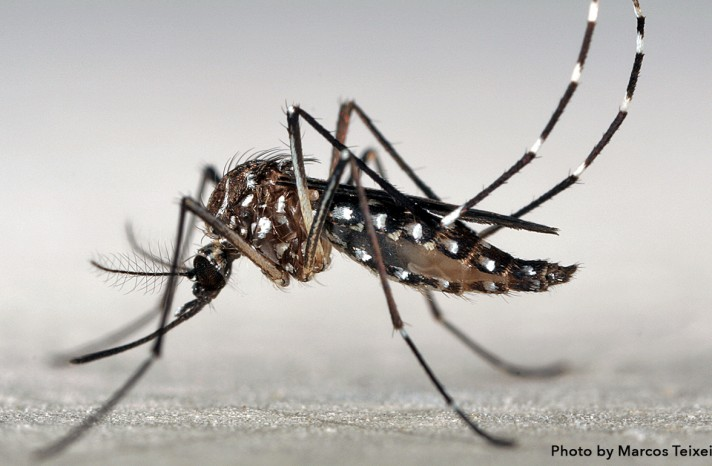 A close-up image of the Aedes Aegypti mosquito