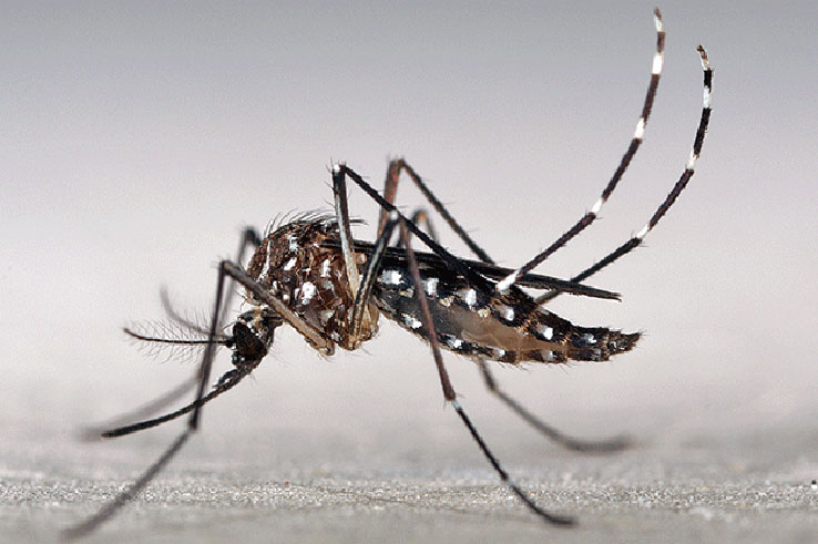 This is an Aedes Aegypti mosquito.