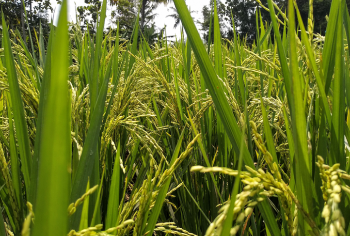 Close up of a green field of rice.