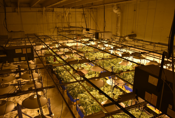 A cannabis facility cultivates hundreds of cannabis plants.